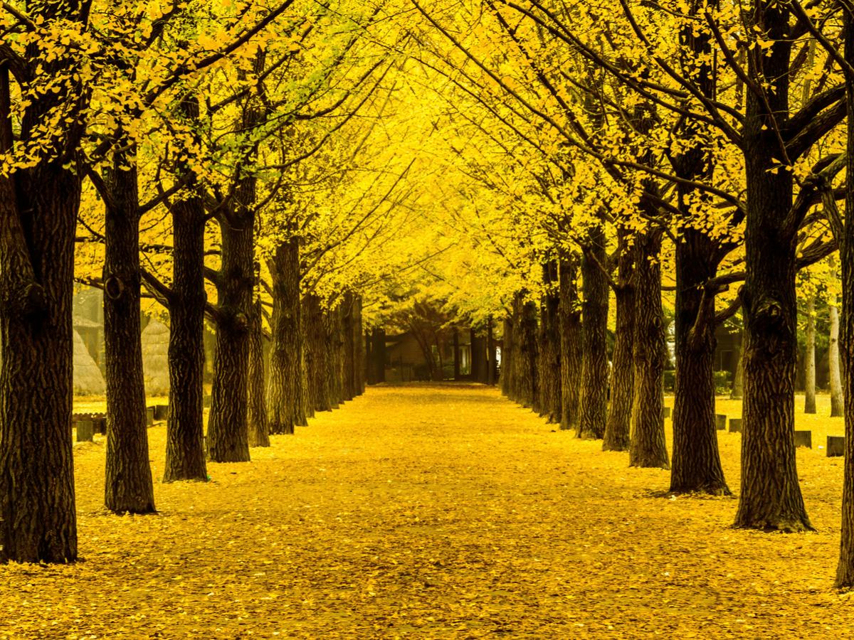 秋の味覚!なぜ、銀杏は独特の香りがするの?